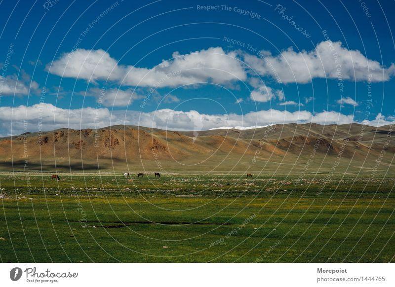 Pferde grasen auf dem Feld vor den Hügeln Hügelseite Hügelige Landschaft Jurte Nomade Altai Natur grün Gras Sommer Bauernhof Weide Rind Wiese Ackerbau