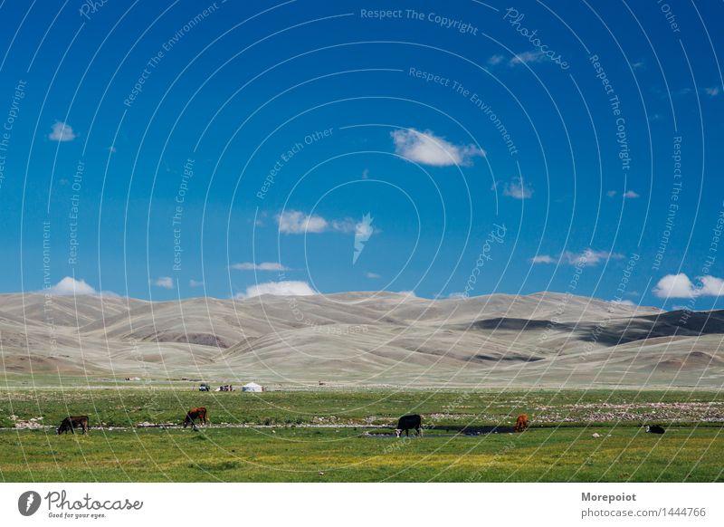 Kühe grasen auf dem Feld vor den Hügeln Kuh Hügelseite Hügelige Landschaft Jurte Nomade Altai Natur grün Gras Sommer Bauernhof Weide Rind Wiese Ackerbau