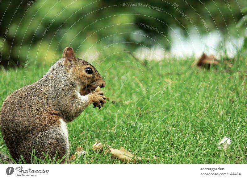 schwanzlos Eichhörnchen Park Tier festhalten Besitz Wachsamkeit Oberkörper grau füttern Futter geizig Gier Geschwindigkeit grün Hintergrundbild Wunsch niedlich