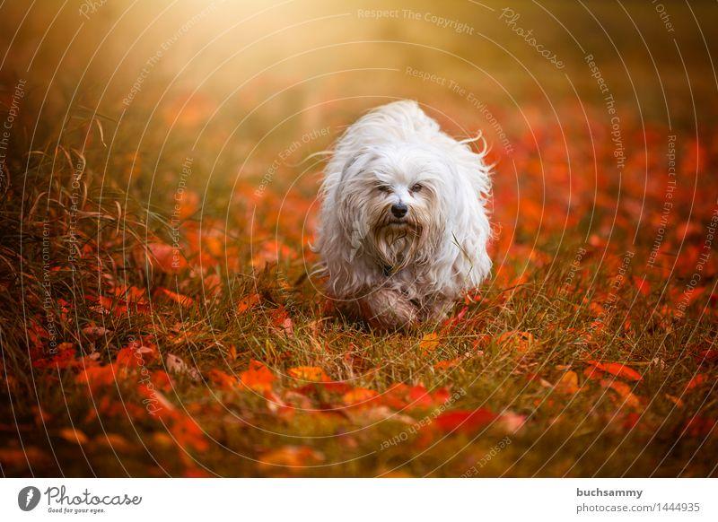 Herbstlich Natur Tier Gras Blatt langhaarig Haustier Hund klein grün weiß Bichon Bichon Havanais Havaneser Jahreszeiten Orange Säugetier Textfreiraum flare