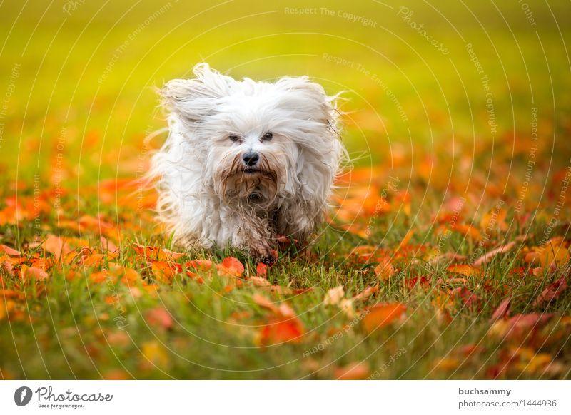 Herbst Wiese Natur Tier Gras Blatt langhaarig Haustier Hund 1 klein grün weiß Bichon Bichon Havanais Havaneser Jahreszeiten Orange Säugetier Textfreiraum flare