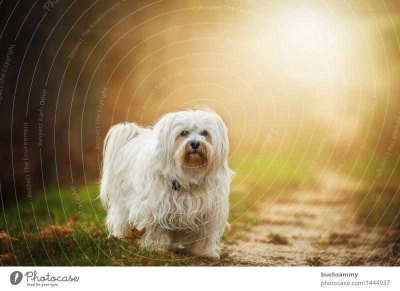 Unschlüssig Natur Tier Herbst Gras Blatt langhaarig Haustier Hund 1 stehen klein weiß Bichon Bichon Havanais Havaneser Jahreszeiten Sonnenschein Säugetier