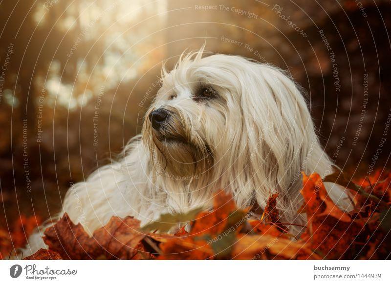 Havaneser im Herbstlaub Natur Tier Gras Blatt langhaarig Haustier Hund 1 liegen klein grün orange weiß Bichon Bichon Havanais Jahreszeiten Säugetier