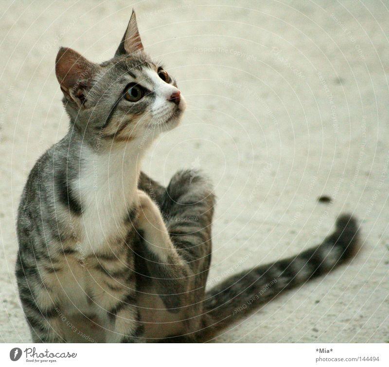 Katzi Katze grau Tier Neugier Blick süß kratzen Säugetier Katzenbaby große Augen