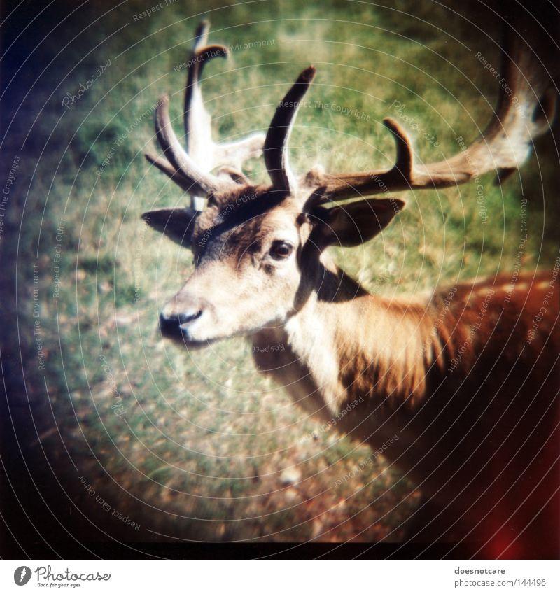 hunter. (on what it means to live in fear.) Natur Tier Wildtier Hirsche Reh Damwild 1 Blick niedlich dama dama Horn Schüchternheit diana+ Lomografie