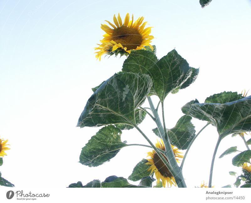 Blümchenzyklus III Blume Sonnenblume Blüte Sommer gelb grün Froschperspektive Himmel blau