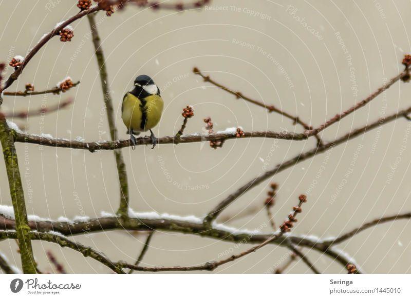 Kohlmeise Pflanze Tier Winter Baum Vogel Tiergesicht Flügel 1 fliegen Meisen Farbfoto mehrfarbig Außenaufnahme Detailaufnahme Menschenleer Textfreiraum rechts