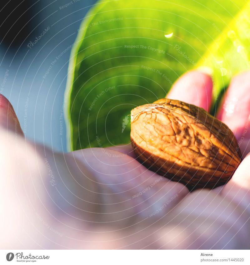 nicht auf den Kopf gefallen Lebensmittel Frucht Walnuss Nuss Hand Pflanze Baum Blatt Echter Walnussbaum hell blau braun mehrfarbig grün knackig hart fest