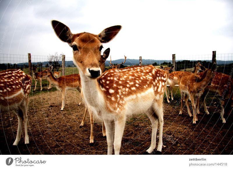 Dama dama Tier Ernährung Tierjunges Wildtier Wildfleisch Zaun Säugetier gefangen Tierzucht Reh Damwild Fleischfresser Bambi Rehkitz eingezäunt