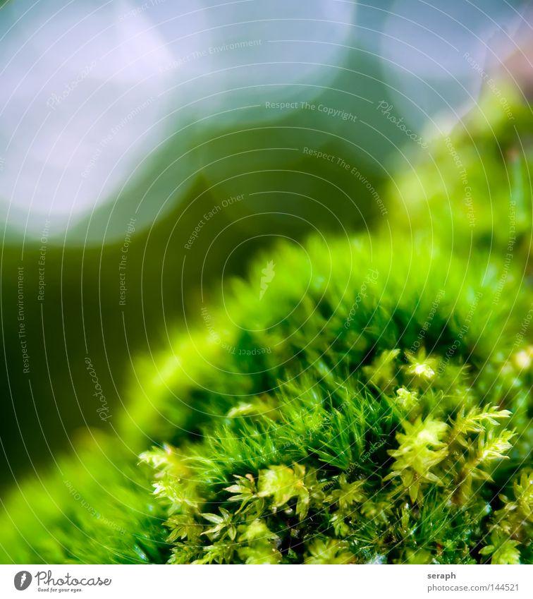 Mooswelten Pflanze grün zart Muster Hintergrundbild Laubmoos Blatt Bodendecker Sporen Umwelt Umweltschutz Symbiose weich Unschärfe dunkel Botanik Licht Nest
