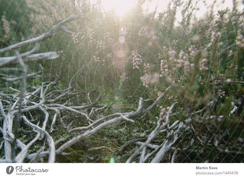 Dezember Natur Landschaft Pflanze Erde Sonnenlicht Herbst Winter Sträucher Geäst Wiese Feld Wald ästhetisch grau grün rosa Farbfoto Außenaufnahme Nahaufnahme