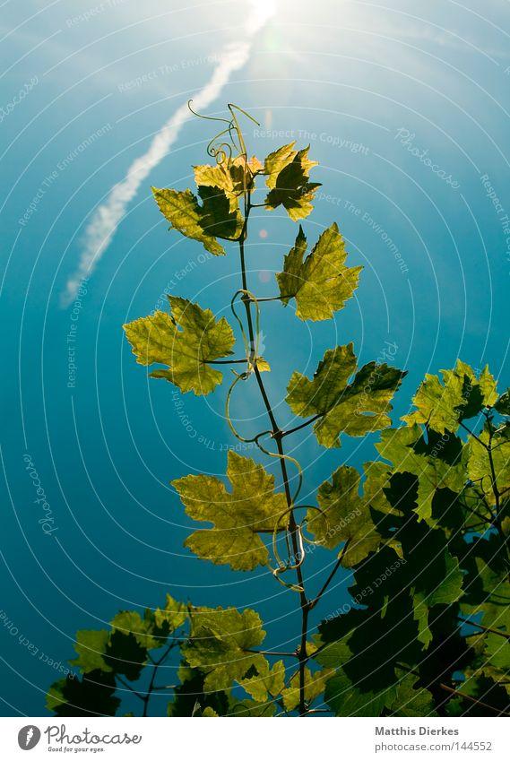 Wein Weinblatt Blatt Sommer Weinlese Stengel Sträucher Ranke Gegenlicht grün Weinbau Weinberg Weintrauben Ernte Sonne Himmel grünlich Lampe Alkohol leuchten