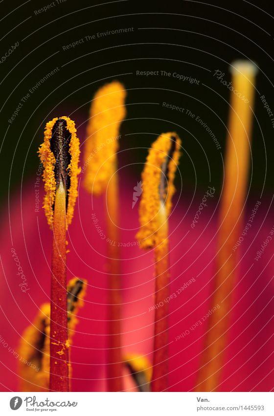 schwarz-rot-gold Natur Pflanze Blume Blüte Stempel gelb Pollen Farbfoto mehrfarbig Innenaufnahme Detailaufnahme Makroaufnahme Menschenleer Textfreiraum oben Tag