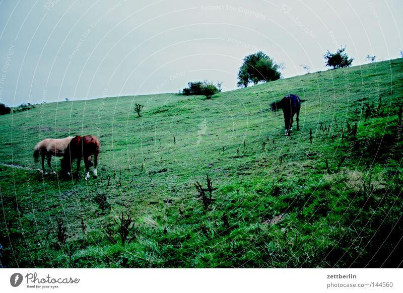 Pferde am Abend Weide Wiese Fressen Ernährung Herde Landwirtschaft Tierzucht Viehzucht Pferdezucht Baum Sträucher Dämmerung Dessert Rügen Ostsee