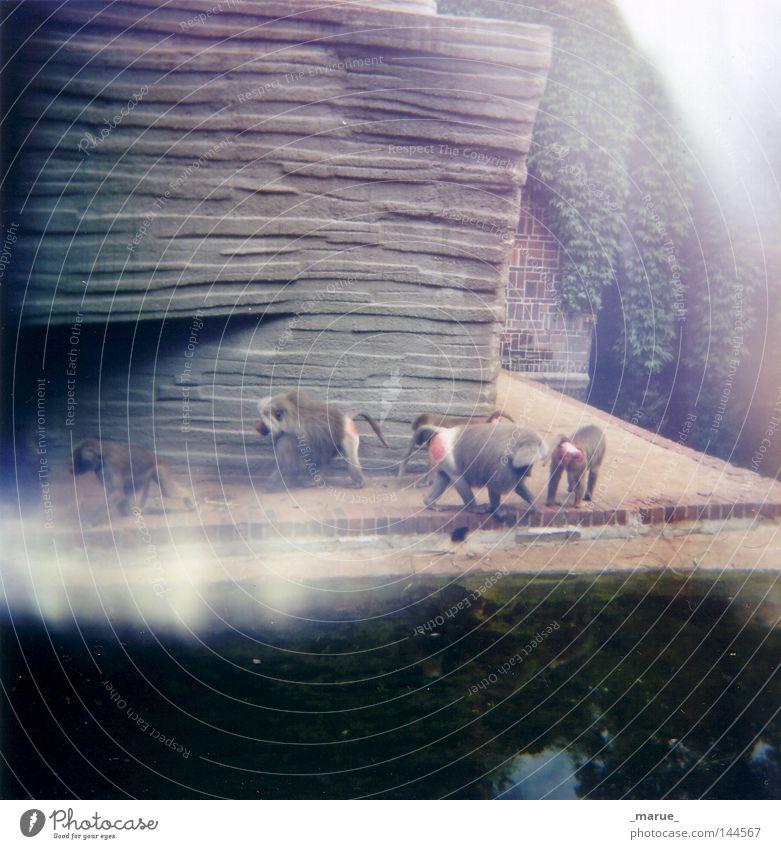 """Wir """"G""""Affen Leipzig Zoo Besucher Tier Gorilla Blick entdecken Auge Tiergarten gefangen Hand gestikulieren Äffchen Tierzucht Viehzucht züchten Langeweile trist"""
