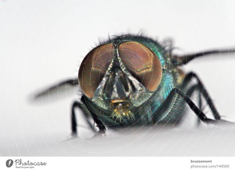 Puck Revisited Auge glänzend Fliege Tiergesicht Insekt frontal Facettenauge Schmeißfliege