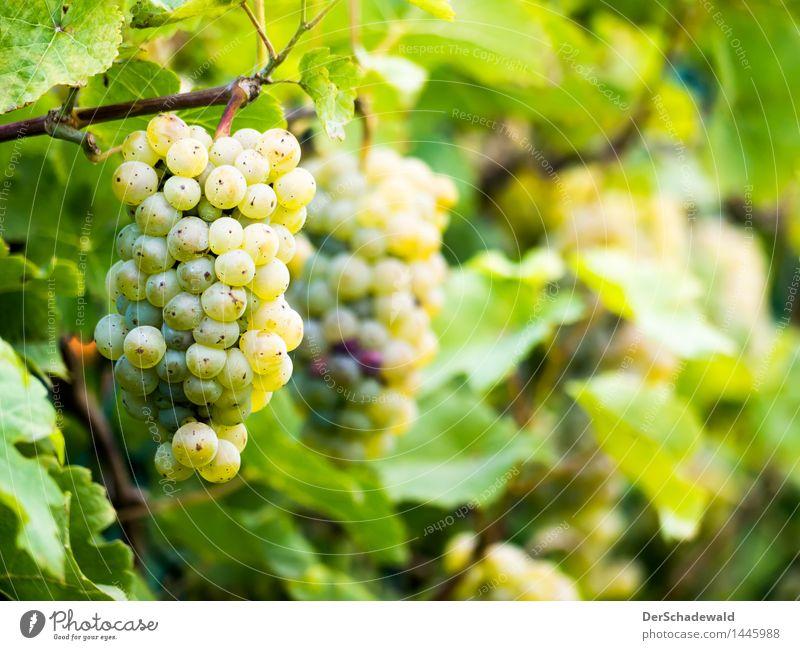 Weintrauben am Zaun Lebensmittel Frucht Ernährung Bioprodukte Vegetarische Ernährung Slowfood Fingerfood Wellness Erholung Duft Natur Pflanze Blatt Grünpflanze