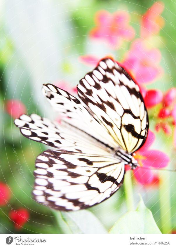 frühlingsbote Natur Pflanze Tier Frühling Sommer Blume Blatt Blüte Garten Park Wiese Wildtier Schmetterling Flügel Weiße Baumnymphe 1 beobachten Blühend Duft