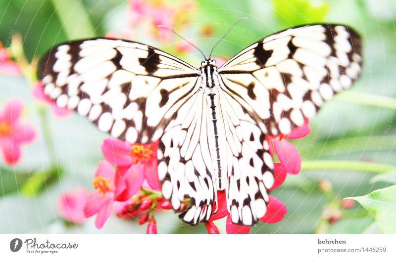 10 cm spannweite Natur Pflanze schön Sommer weiß Blume Erholung Blatt Tier schwarz Blüte Frühling Wiese außergewöhnlich Garten fliegen