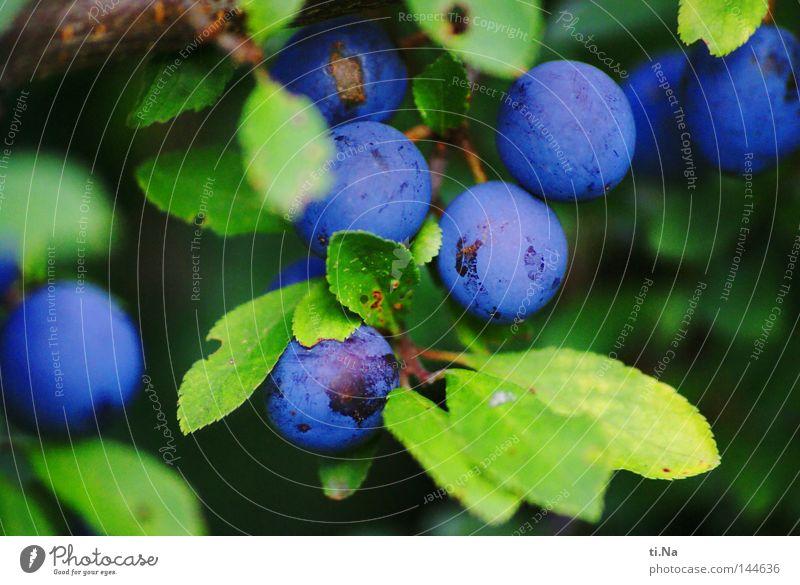 Schlehenkugeln Frucht Pflanze Sträucher Blatt Kugel blau grün Menschenleer Beeren Nahaufnahme Makroaufnahme