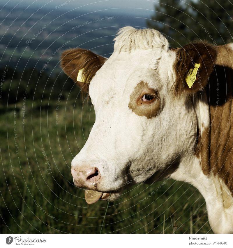 Frechheit! Kuh Rind Vieh Weide Alpen Berge u. Gebirge grün Fleckvieh Zunge Haare & Frisuren Schnauze Maul Nase rausstrecken Täuschung aufreizend frech muhen