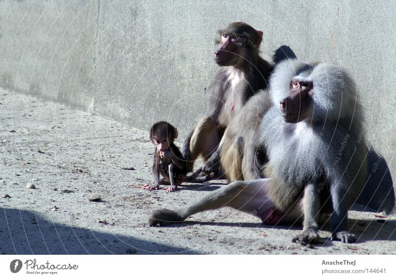 family portrait harmonisch Zoo Wildtier 3 Tier Tiergruppe Tierjunges Tierfamilie Vertrauen Affen Äffchen vertauen Afrika Säugetier pawian pawianbaby