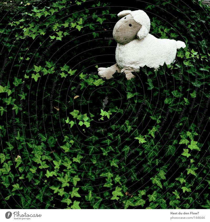 Schaf-los Natur grün weiß Einsamkeit Wege & Pfade Spielen Freiheit laufen einzeln Hügel Weide Fell Säugetier Schwanz Efeu