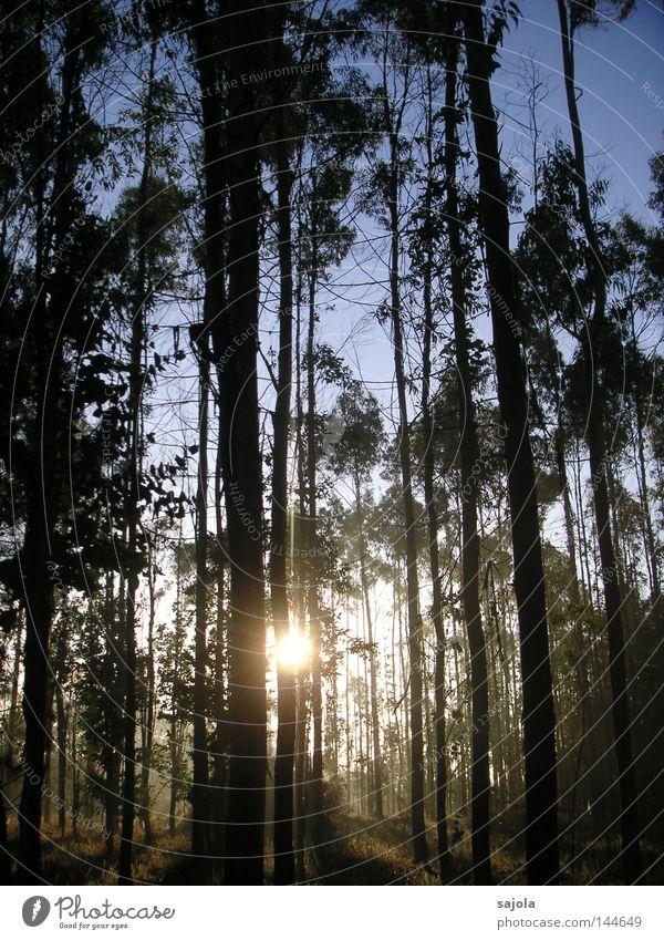 Eucalyptuswald harmonisch ruhig Sonne Natur Landschaft Himmel Herbst Baum Wald Stimmung Kraft friedlich Frieden Eukalyptusbaum Baumstamm Galicia Spanien Europa