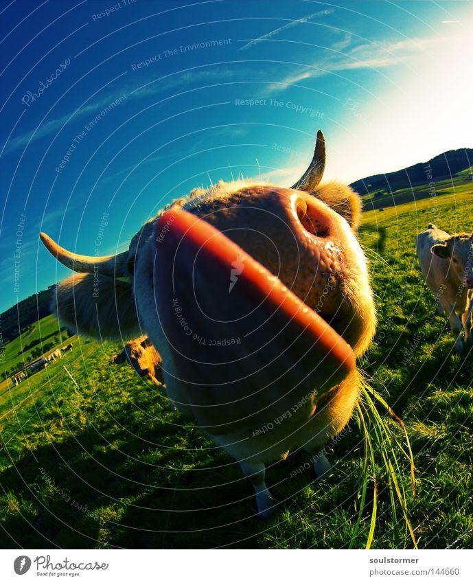 Lecker schlecker Cross Processing Digitalfotografie Grünstich Gelbstich Kuh Rind Steak Zunge Horn Ohr lutschen Ernährung Gras Rasen Himmel Wolken Wiese Natur