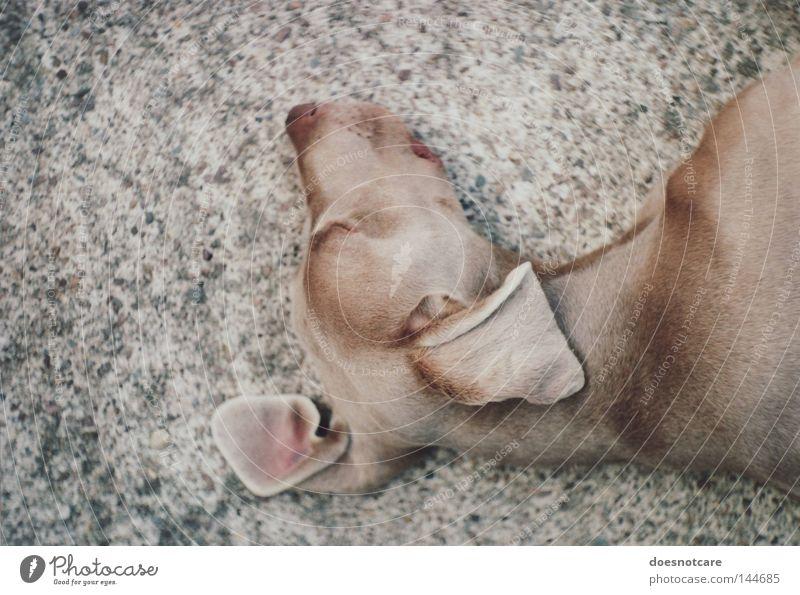 truce. schön Tier Erholung Hund braun schlafen liegen analog Müdigkeit niedlich Langeweile Haustier Schnauze faulenzen Jagdhund Weimaraner
