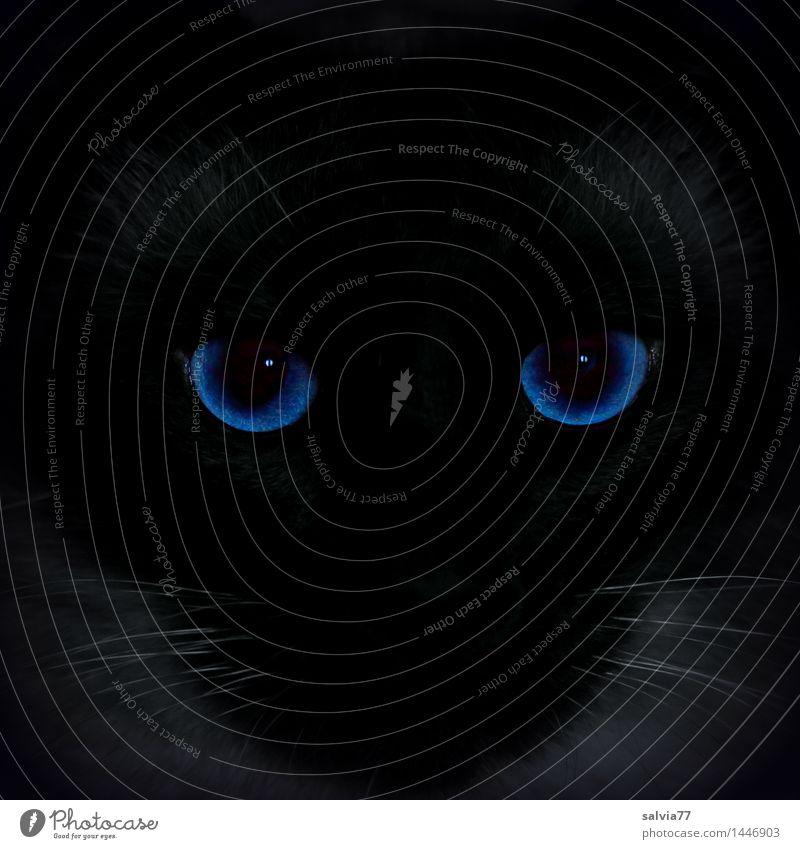 300...Kater Blue Haustier Katze Tiergesicht Thailand 1 leuchten außergewöhnlich Coolness rund wild blau schwarz achtsam Wachsamkeit ästhetisch Design