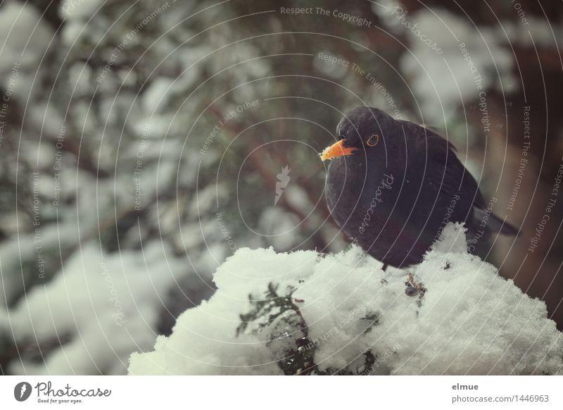 Logenplatz Winter Schnee Baum Vogel Amsel 1 Tier beobachten Blick sitzen Neugier schwarz Tierliebe Appetit & Hunger Unlust Einsamkeit Trägheit Schüchternheit
