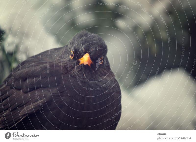 Was machst'n du da? Winter Schnee Vogel Amsel 1 Tier nah Fragezeichen Blick frech lustig Neugier schwarz Vertrauen Sympathie Tierliebe Treue Interesse