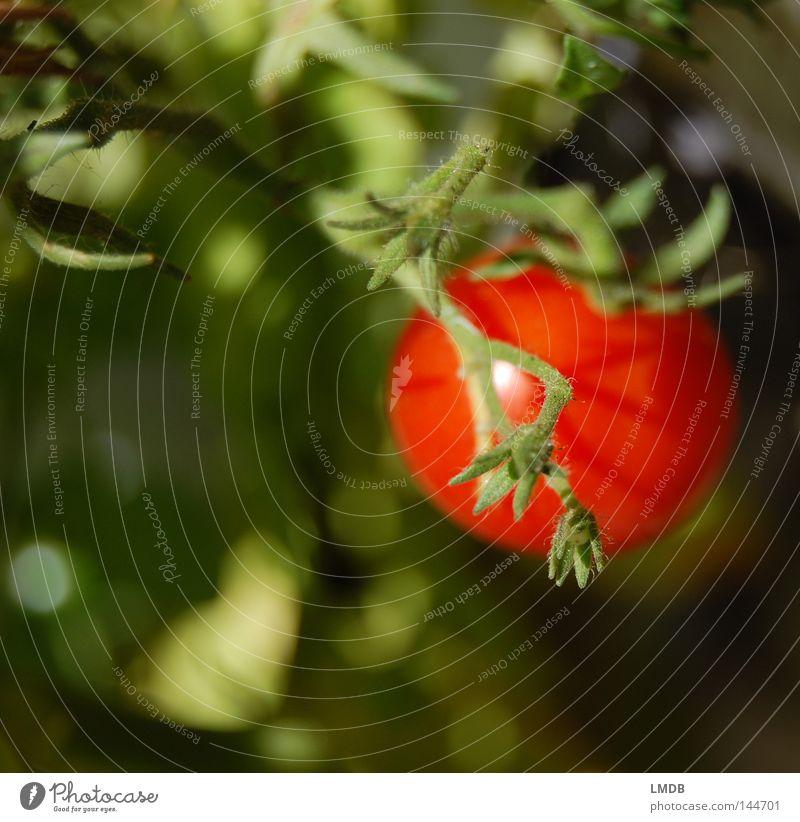 I say tomato... rot grün Pflanze Gesundheit frisch Nachtschattengewächse Unschärfe lecker Vitamin Erntedankfest Italien knackig Gemüse Tomate Ernährung