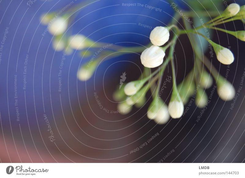 Jasmin Blüte geschlossen Blume Pflanze Unschärfe weiß schwarz grün filigran zart Erwartung Neugier Frühling Wunsch Blütenknospen Stengel zögern rein unberührt