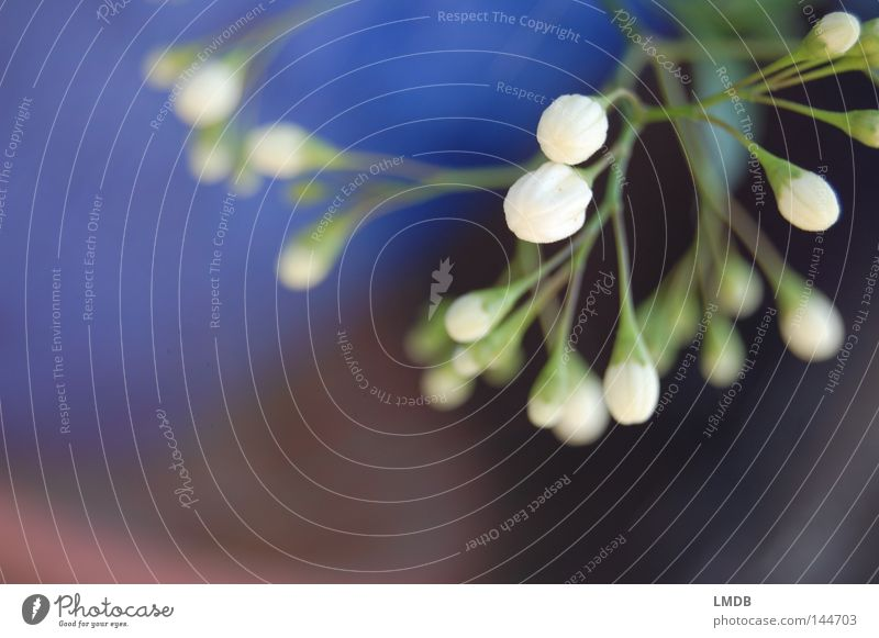 Jasmin weiß Blume grün blau Pflanze schwarz Blüte Frühling warten geschlossen Hoffnung rein Wunsch zart Neugier Stengel