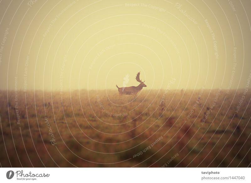 Damhirschbock im nebelhaften Morgen schön Jagd Mann Erwachsene Natur Landschaft Tier Herbst Wetter Nebel Baum Gras Wiese natürlich wild Farbe Hirsche Brachland