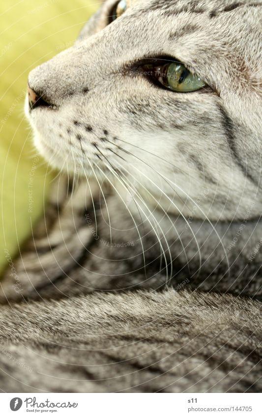 Cat Katze grün weiß Tier schwarz Auge grau liegen weich Nase Vertrauen Fell Haustier Säugetier Decke Hauskatze