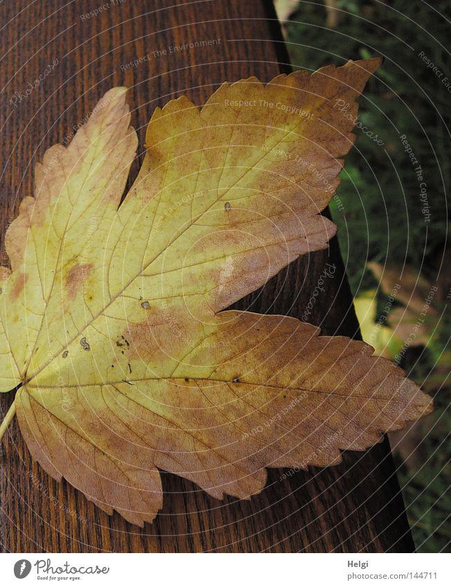 Nahaufnahme eines herbstlich gelb-braun gefärbten Ahornblattes  auf Holz Herbst Blatt fallen färben Farbe Baum Bank Holzbrett liegen Gras Wiese Herbstfärbung
