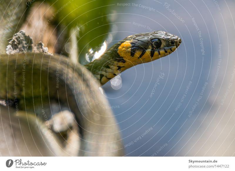 Ringelnatter Umwelt Natur Pflanze Tier Schönes Wetter Gras Seeufer Flussufer Wildtier Schlange Tiergesicht Schuppen 1 ästhetisch schön blau braun gelb grau