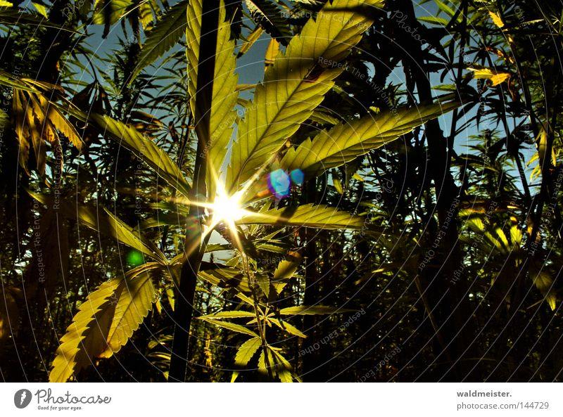 Gebt das Hanf frei ! Rauschmittel Sonne Blatt Feld Industriehanf Plantage Cannabis Faserpflanze Blendenfleck Farbfoto Morgen Lichterscheinung Sonnenstrahlen