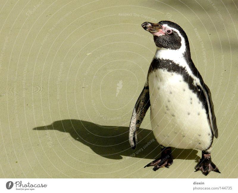 Wann wird es endlich wieder Winter? (Spheniscus humboldti) Vogel Sonnenbad transpirieren Pinguin Tier Antarktis Brillenpinguin flugunfähig