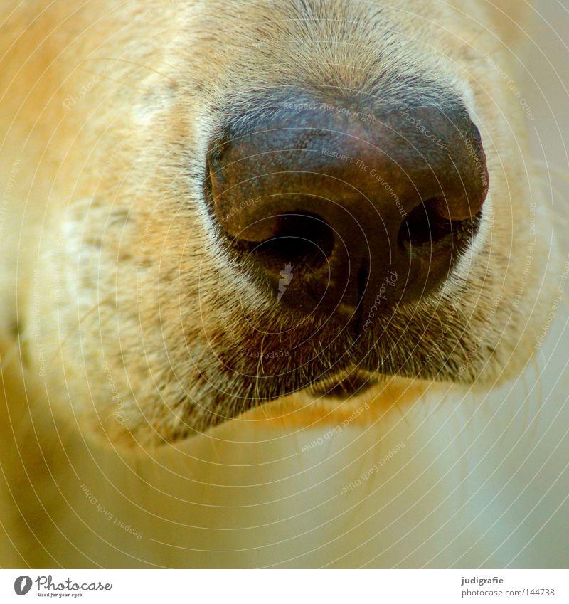 Der richtige Riecher Farbe Hund Nase nah weich Fell Bart Geruch Säugetier Schnauze Barthaare