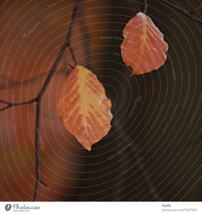 zwei Herbstblätter bleiben noch zusammenhängen zusammenhängend Zusammensein vergänglich zusammenpassen zwei zusammen Buchenblätter herbstliche Impression