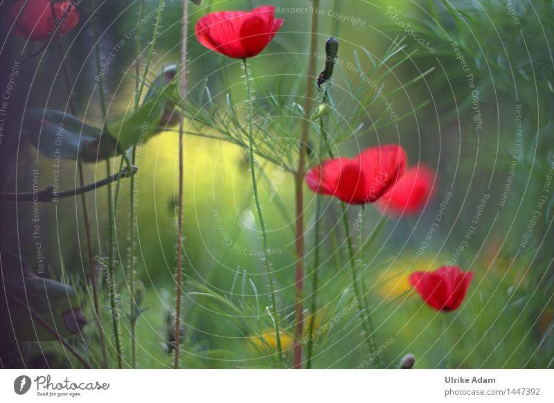 Lichtdurchflutete Mohnblumen in einer Wiese Natur Pflanze Sommer Schönes Wetter Blume Sträucher Blatt Blüte Wildpflanze Mohnblüte Wiesenblume Garten Park Feld