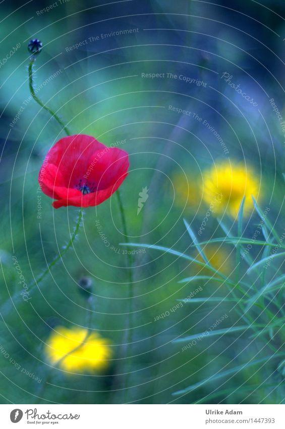 Painting Poppy Natur Pflanze Sommer Schönes Wetter Blume Blüte Wildpflanze Mohn Mohnblume Mohnblüte Garten Park Wiese Feld Bauerngarten Blühend Duft leuchten