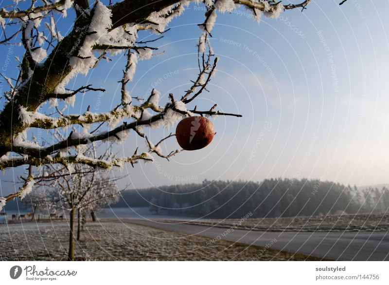 Winterapfel Baum kalt Schnee Eis Frost Apfel gefroren reif Schneelandschaft vergessen Raureif Apfelbaum