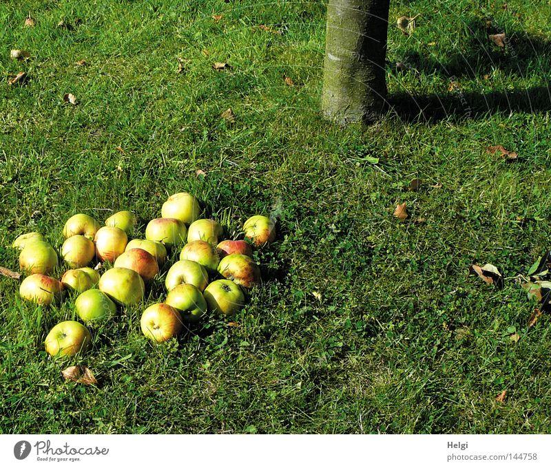 reife  Äpfel liegen unter einem  Apfelbaum im Gras Herbst Ernte fallen pflücken Baum Baumstamm Baumrinde Wiese Halm Blatt Schatten rund gelb grün rot Stengel