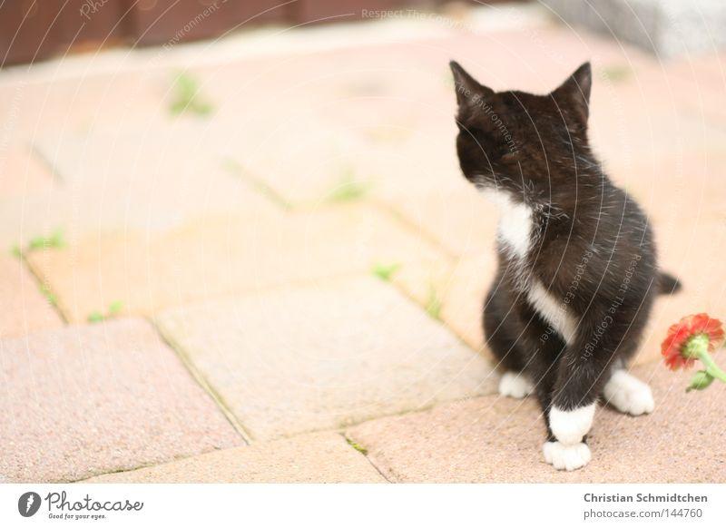 miez weiß Blume schwarz Stein Katze Ohr Säugetier Hauskatze