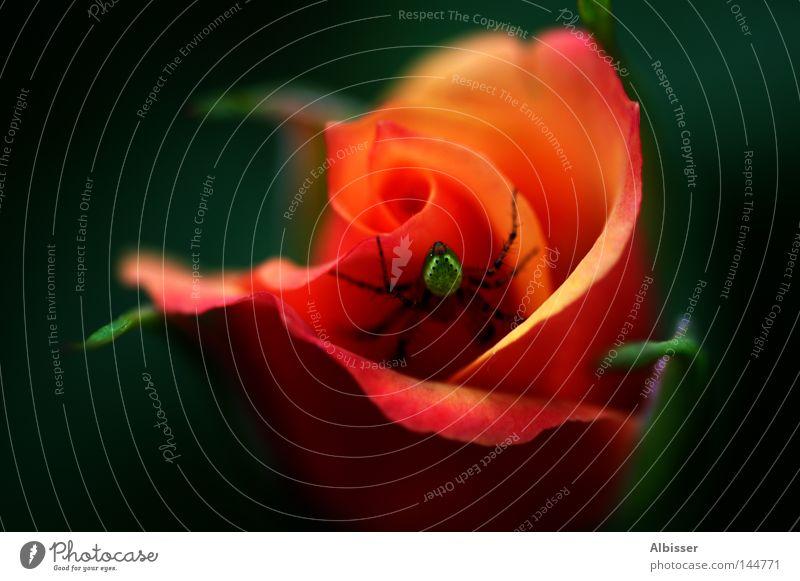 Beauty and the Beast Spinne Rose Blume rot orange schwarz grün schön Biest hässlich Romantik Pflanze Farbe Makroaufnahme Nahaufnahme red black